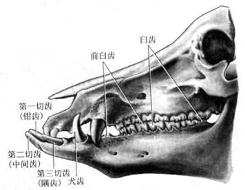 牛头骨背侧结构图