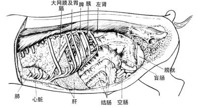 动物心脏结构图