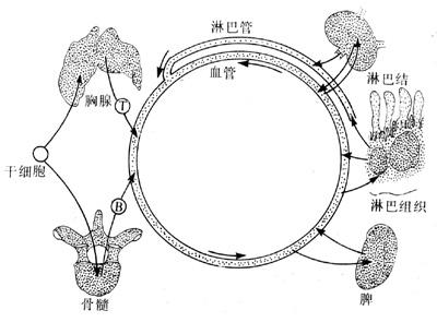 滤泡树突细胞